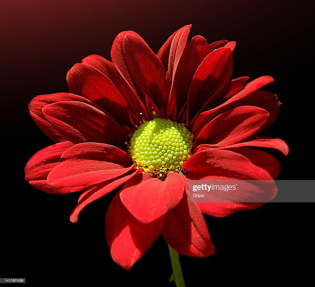 Red Chrysanthemum : Stock Photo