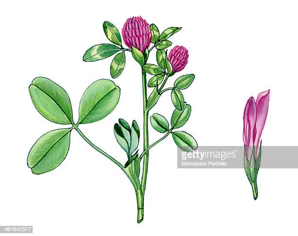 Red Clover by Giglioli E 20th Century ink and watercolour on paper Whole artwork view Drawing of the plant with leaves and flowers
