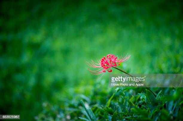 Red cluster amaryllis