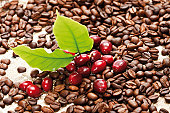 Red coffee berries (Coffea arabica) on a bed of coffee beans with coffee leaves