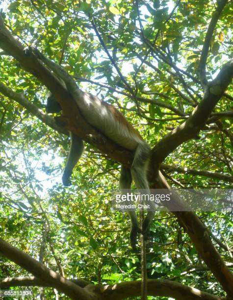 Red Colobus Monkey Lounging in a Tree