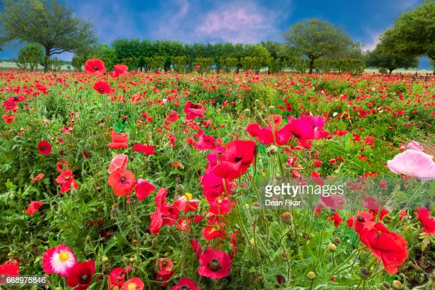 Red Corn Poppies at Dusk