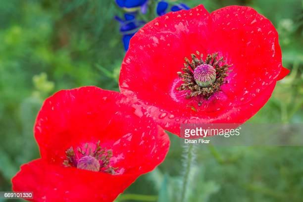 Red Corn Poppies in a Wildflower Field