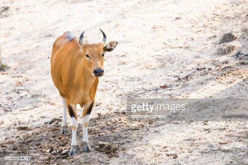 Vermelho Vaca : Foto de stock