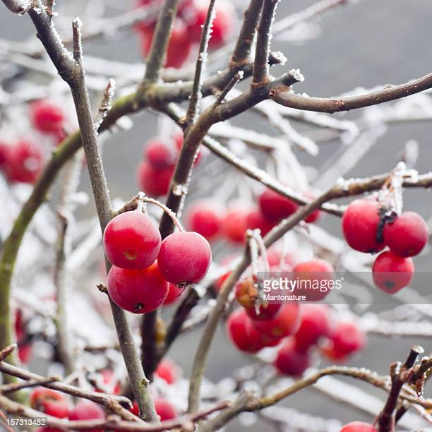 Red Crab Apples (Malus pumila) with Hoarfrost