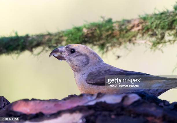 Red Crossbill (Loxia curvirostra) male, put on a trunk with a green background . Spain, Europe.