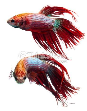 Couronne rouge de queue de poisson combattant siamois for Poisson betta bocal