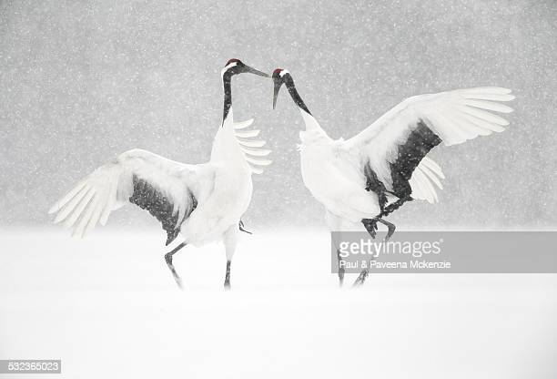 Red Crowned Crane courtship dance
