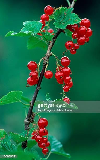 Red Currant berries / (Ribes rubrum)