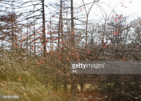 Red Currents : Stock Photo