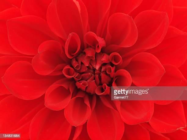 Gros plan fleur de Dahlia rouge