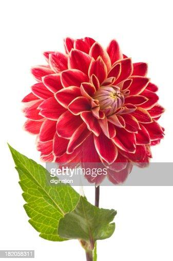 Red Dahlia flower on white