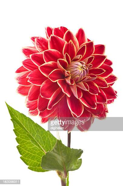 Red Dahlia flower on white