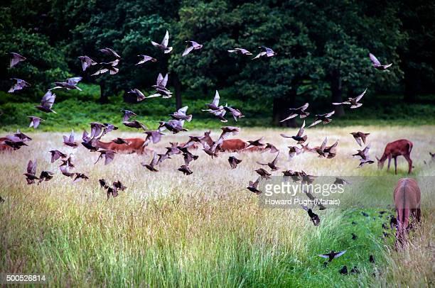 Red Deer & A Flock of Birds in Flight