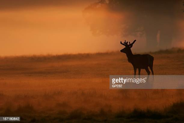 Red Deer im Morgengrauen