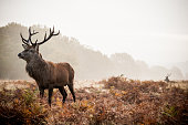 Red deer at Richmond Park