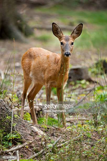 Red Deer -Capreolus capreolus-, hind standing in the forest, captive, Saxony, Germany