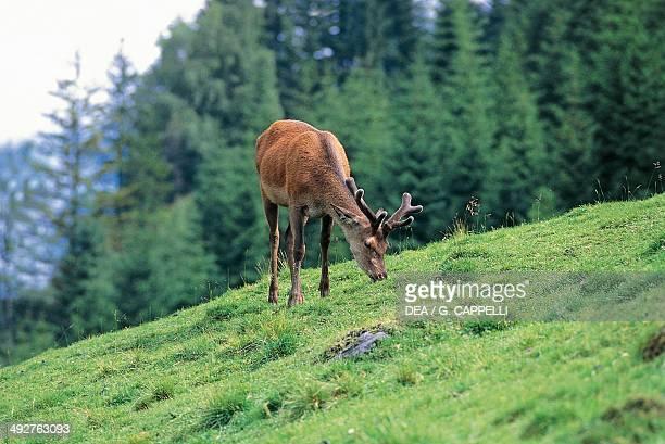 Red deer Cervidae Hohe Tauern National Park Austria