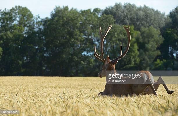 Red Deer -Cervus elaphus- in a grain field, Lower Austria, Austria