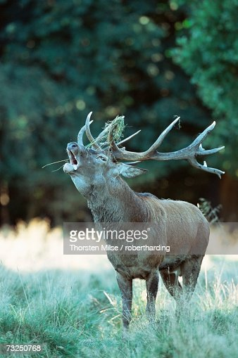 Red deer (Cervus elaphus), Copenhagen, Denmark, Scandinavia, Europe