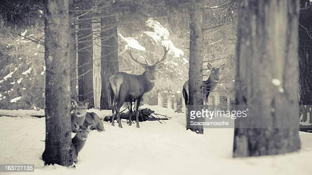 Red Deer family