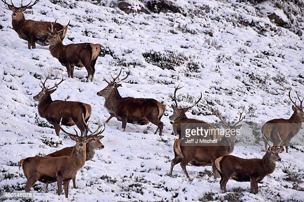 Red deer forage for food in Glenshee as snow hits much of Scotland on December 08 2014 in Glenshee Scotland The Met Office yellow 'Be Aware' warning...