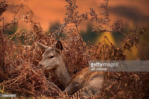 Red deer graze following the end of the rutting season on November 12 2014 in Glen Etive Scotland The rutting season sees the large red deer stags...