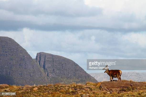 Red Deer Hind with Fawn, Mother and Baby - with Scottish Mountain Backdrop, on Stac Pollaidh
