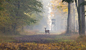 Young red deer standing in forest in autumn. Watch tower in background