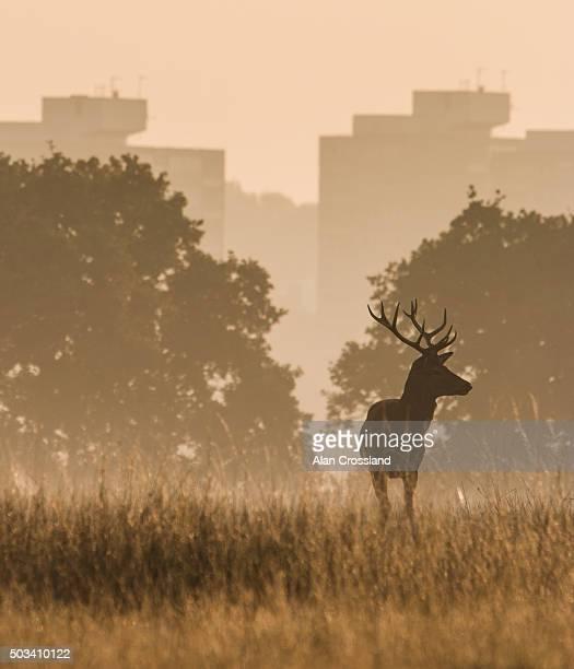 Red Deer in Richmond Park - London