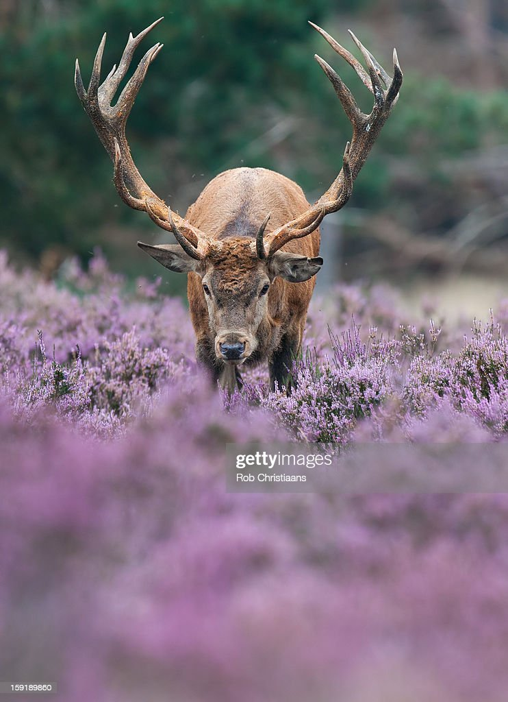 Red deer in the heather. : Stock Photo