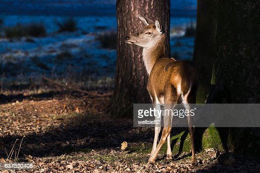 Red deer in the sunshine
