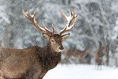 Red Deer in Winter. Portrait of noble red deer, under falling snowflakes in winter time. Wild buck deer with large antlered in the snow. A bulk elk, with a full set of antlers, Belarus, Vitebsk region