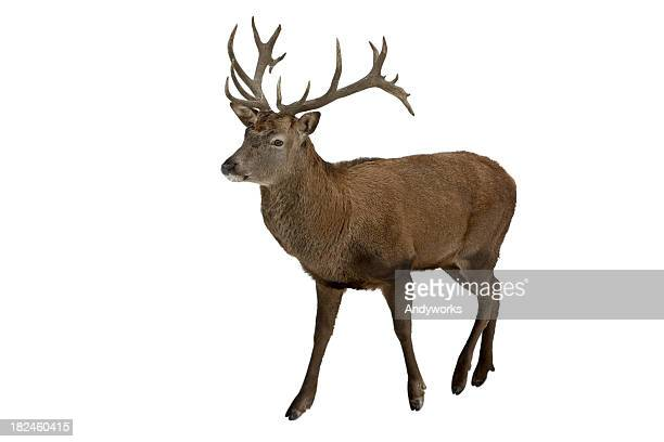 Red Deer Isolated On White
