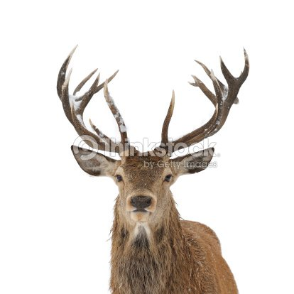 red deer portrait isolated stock photo thinkstock. Black Bedroom Furniture Sets. Home Design Ideas