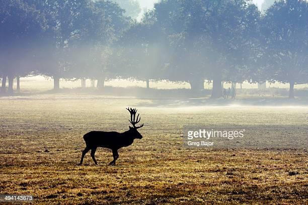 Red deer Richmond Park.