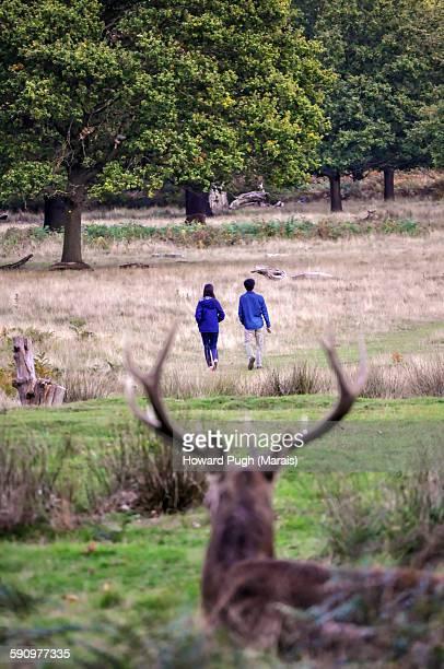 Red deer sighting: rutting season