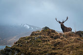 A Red Deer Stag, Cervus elaphus scoticus, with the remains of antler dressing his left antler in the mountains near Loch Quoich in Lochaber, Scotland.