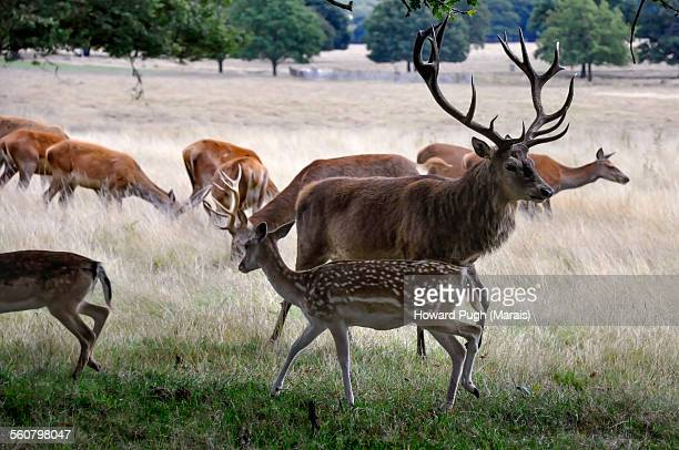 Red Deer Stag and Offspring