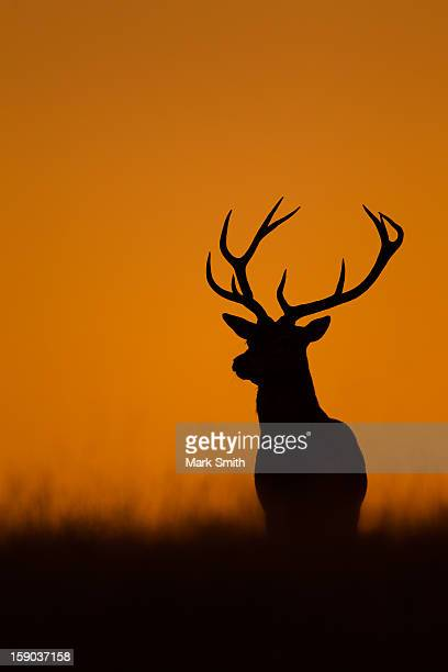 Red Deer Stag at sunrise (Cervus elaphus)