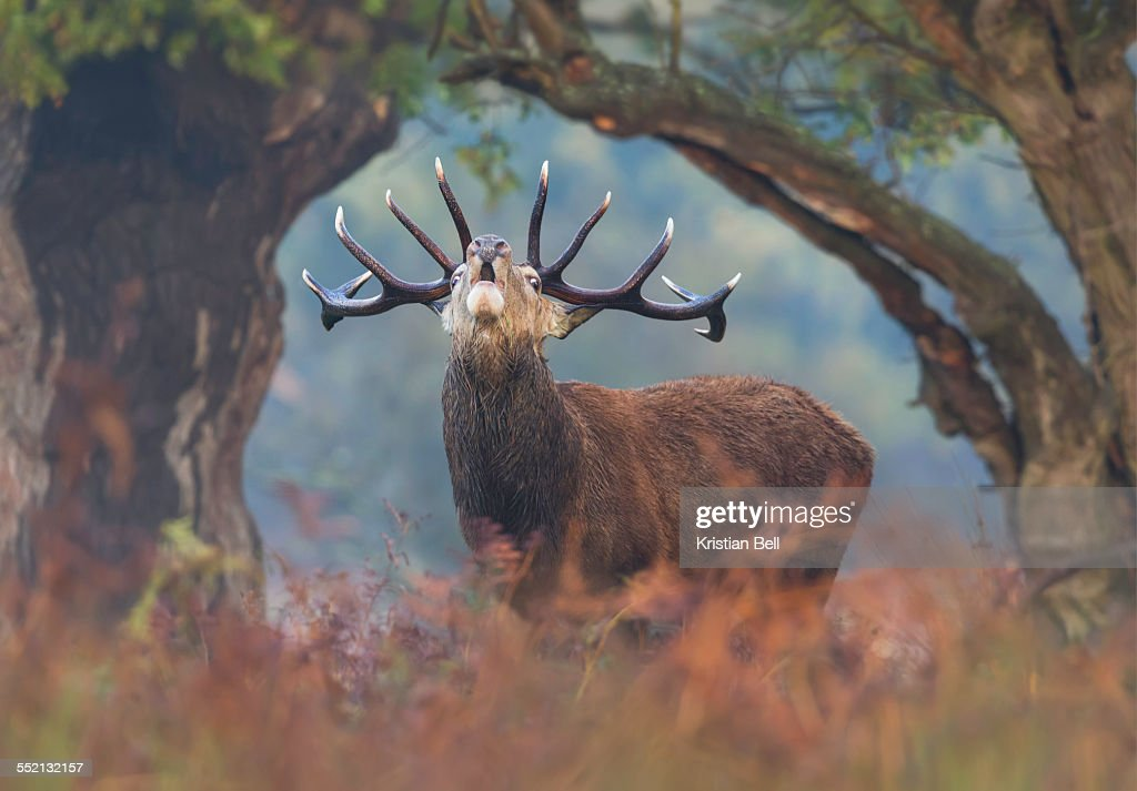 Red Deer Stag bellows between a natural tree frame