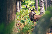 Red deer stag between ferns in autumn forest.