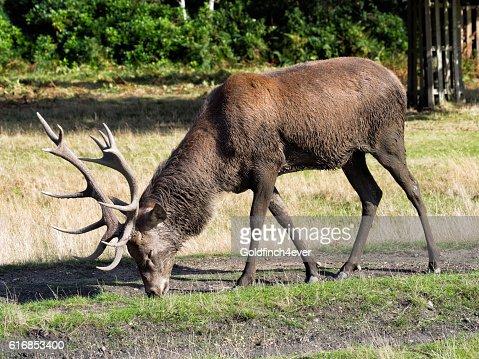 Red deer stag, grazing. Cervus elaphus : Stock Photo
