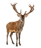 Red deer stag in front of a white background