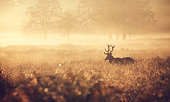 The silhouette of a large red deer stag walking in the golden morning mist one autumn day