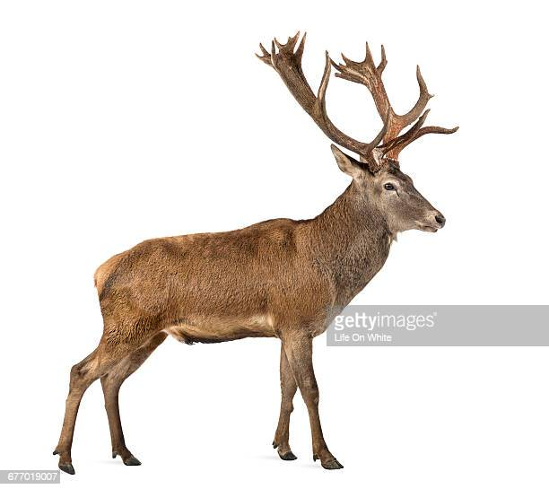 Red deer, stag isolated on white
