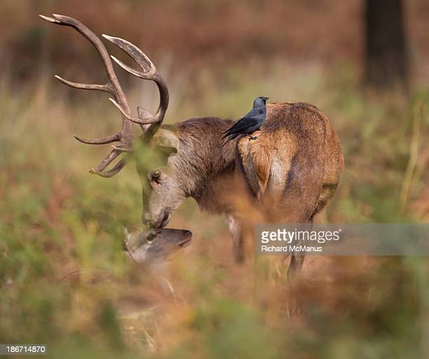 Red deer stag kissing mate.