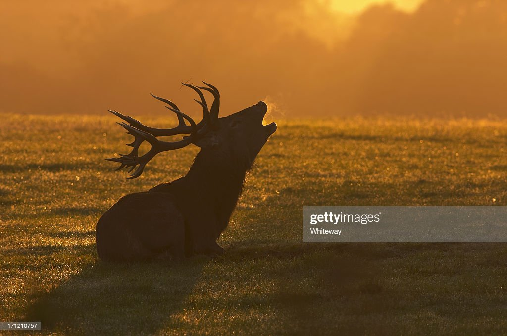 Red deer stag sitting roaring at the dawn
