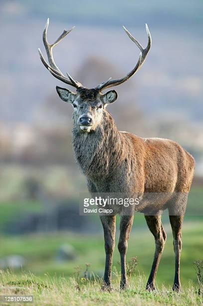Red deer (Cervus elaphus) stag on Scottish moorland, UK