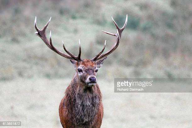 Red Deer Stag, Perthshire, Scotland